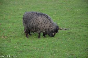 A strange twisty-horned sheep.