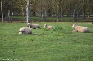 Fezzik sheep.