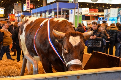 A prize-winning, if shy, cow.