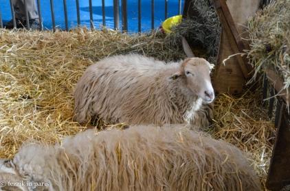 A smug sheep.