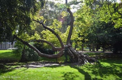 A weird tree from jardin du Luxembourg.