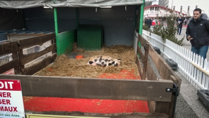 "This pig was dreaming, thus prompting the question ""what exactly does a pig dream about?'"""