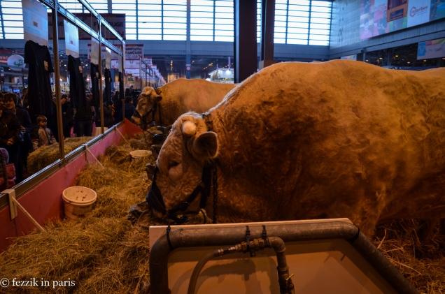 Big damn cows.