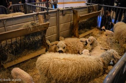 More lambs.