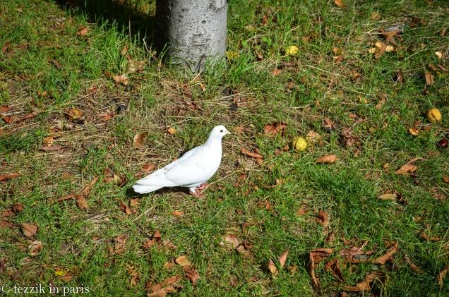 A non-albino white pigeon.